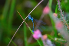 Common blue damselfly. Copyright NYMNPA.