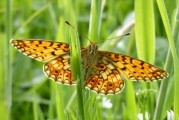 Small pearl bordered fritillary by Tammy Andrews