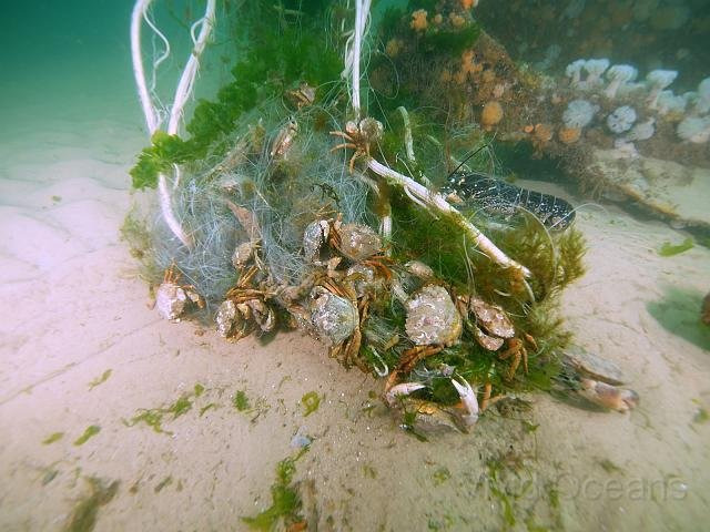 Cley, Norfolk - crabs tangled up in litter