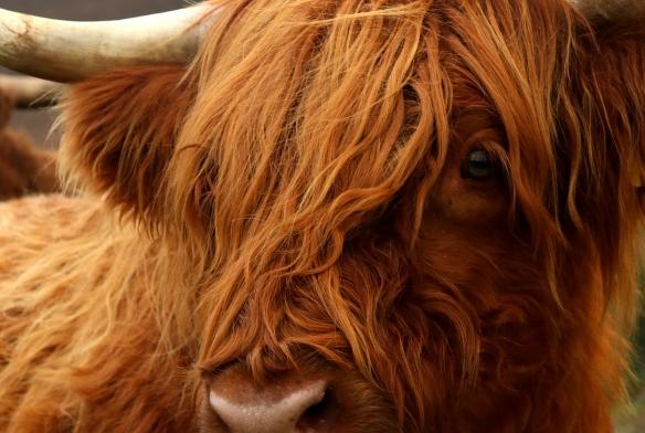 Levisham Estate - Highland cattle. Copyright NYMNPA.