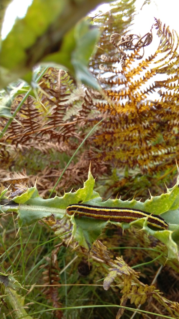 Caterpillar of the Broom Moth Ceramica pisi. Copyright NYMNPA.
