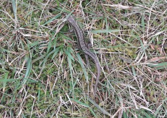 Common lizard. Copyright NYMNPA.