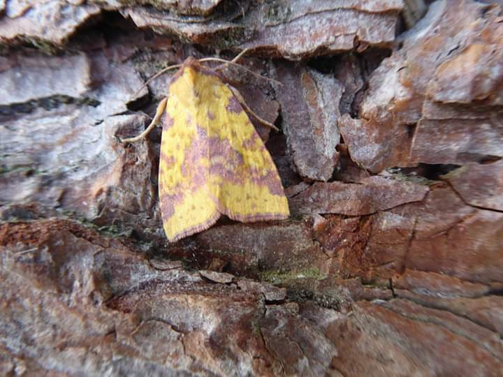 Pink-barred Sallow. Copyright Allan Rodda.