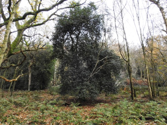 Holly Tree in the Yorkshire Wildlife Trust's Birch Wood nature reserve in Bilsdale. Copyright Paul Thompson, NYMNPA.