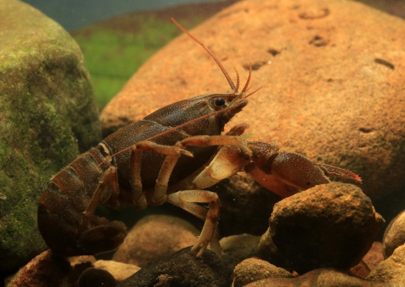 Native White-Clawed Crayfish - copyright Dan Lombard.