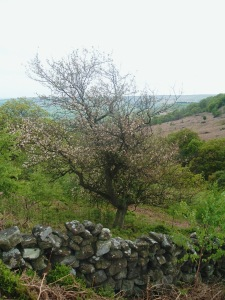 Crab Apple Tree in Tripsdale. Copyright NYMNPA.