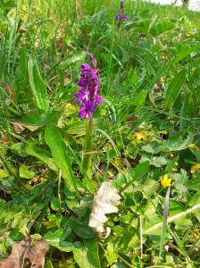 Early purple orchid on a road verge near Sam's house. Copyright Sam Newton, NYMNPA.