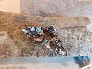 Oak Beauty Moth from Sam's home moth trap. Copyright Sam Newton, NYMNPA.