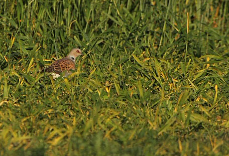 A Turtle Dove in seeded plot 24.6.20 (North Yorkshire Turtle Dove Project). Copyright A Malley.