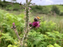 Bumblebee, somewhere in Bilsdale. Copyright NYMNPA.