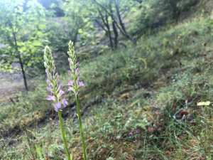 Fragrant (possibly Chalk Fragrant) Orchid. Copyright Richard Baines, NYMNPA.