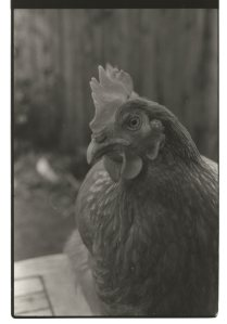 Hartlepool Hens. Copyright David Mennear, NYMNPA.