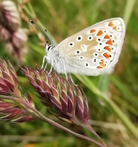 Common blue butterfly. Copyright Ami Hudson, NYMNPA.