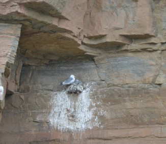 Nesting Kittiwakes. Copyright Christopher Watt, NYMNPA.