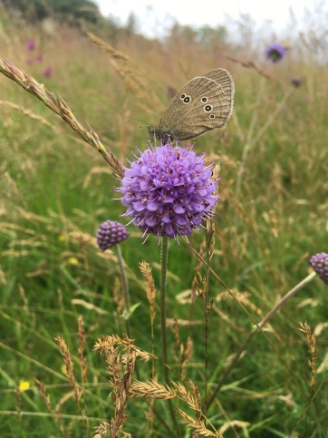Ringlet butterfly on Devils-bit-scabious, during Tick Survey June 2020. Copyright Victoria Franklin, NYMNPA.