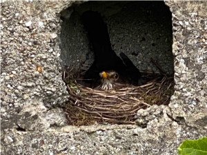 Blackbird nest in a hole in the wall. Copyright Rachel Pickering, NYMNPA.