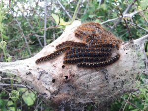 Cobweb of small eggar moth caterpillars. Copyright Rachel Pickering, NYMNPA.