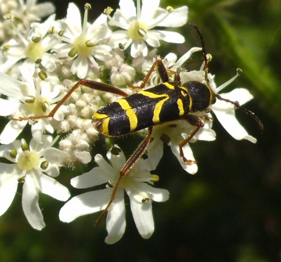 Wasp Beetle. Copyright Sam Newton, NYMNPA.