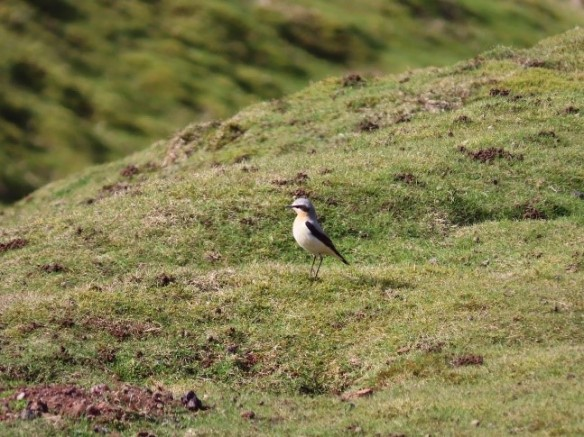 Wheatear, Rosedale. Copyright Vic Fairbrother, Ken Hutchinson and the Updale Natural History Recorder.
