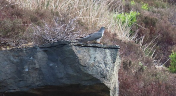 Cuckoo, Rosedale. Copyright Vic Fairbrother, Ken Hutchinson and the Updale Natural History Recorder.