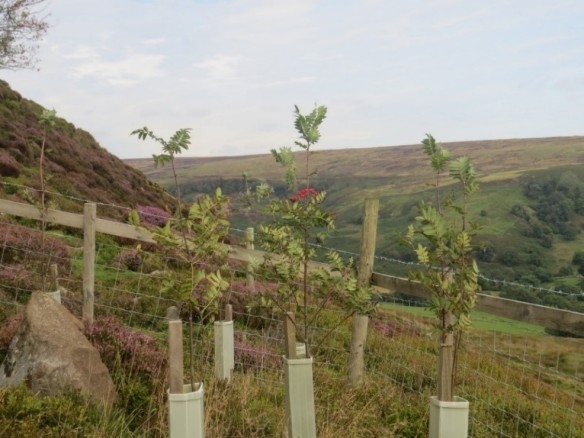 Growing Rowan Trees, Rosedale. Copyright Vic Fairbrother, Ken Hutchinson and the Updale Natural History Recorder.