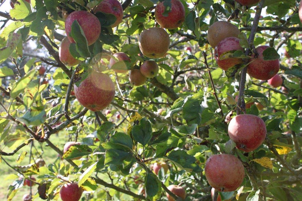 Apple Orchards, Ampleforth Abbey. Copyright NYMNPA.