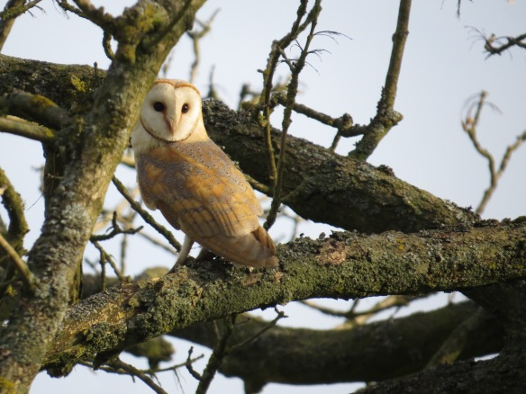 Barn Owl - copyright Updale Natural History Recorder