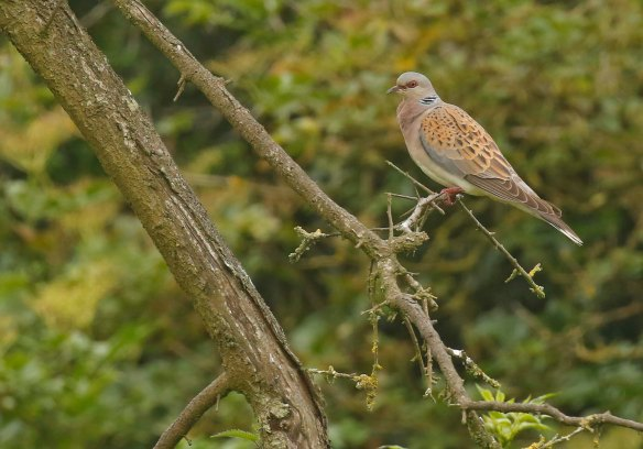 Turtle Dove - North Yor4kshire, July 2020. Copyright Richard Baines.