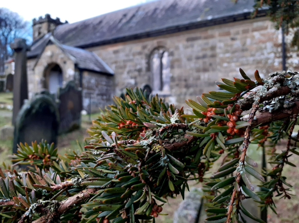 Male yew tree in St Nicholas' Churchyard, Bransdale, showing the beginnings of next year's flowers. Yew trees are dioicous, with individual plants either male or female. Copyright Sam Newton, NYMNPA.