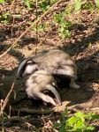 Badger Cubs. Copyright 'Pickering' Family.
