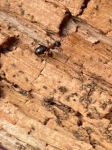 Northern hairy wood ant. Copyright 'Pickering' Family..