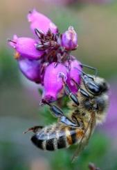 Honey bee - Tammy Andrews