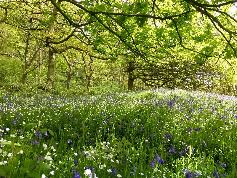 Spring flowers Nature - Bluebells and Stitchwort Newton Wood_CREDIT Tammy Andrews