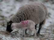 Winter sheep credit Steve Bell Photography