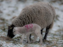 Winter sheep credit Steve Bell Photography