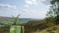 Rosedale rowan trees