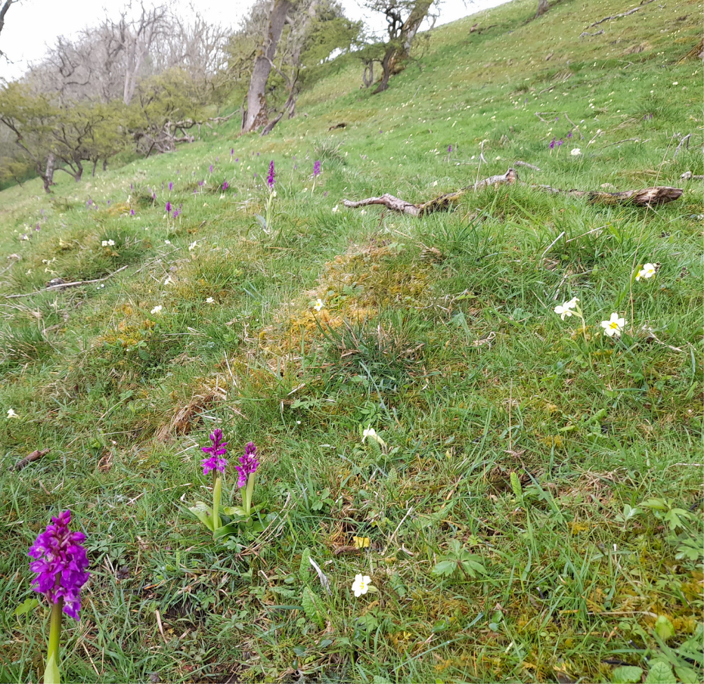 Early purple orchids Orchis mascula and Primroses Primula vulgaris, strong evidence that the area is a Shadow Woodland. Copyright NYMNPA.